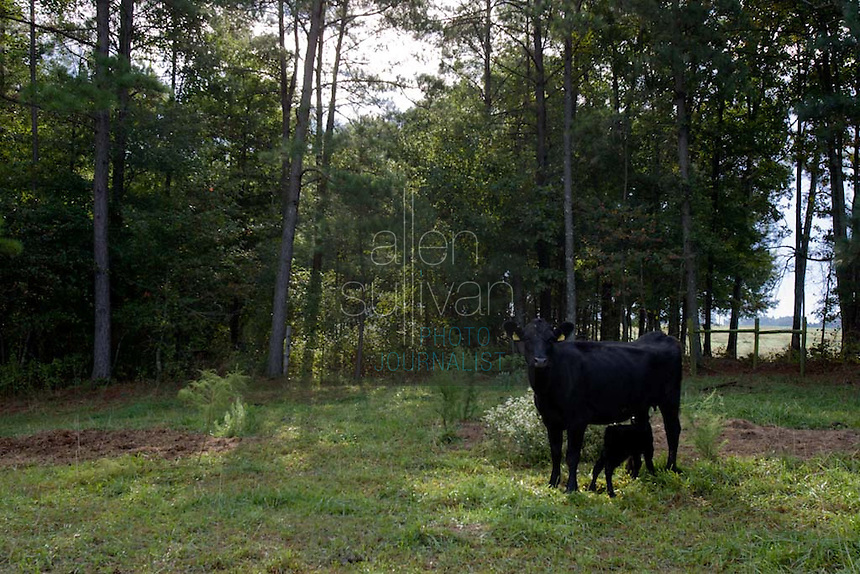 A cow and her newborn calf on John Stuedemann's farm in Comer, Ga. on Monday, Sept. 25, 2006. Stuedemann says he applies techniques with his cattle that he has learned since childhood in Iowa, such as positive reinforcement, minimal occurrences of pain or fear, and calm motions and speech.