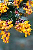 Berberis darwinii in autumn berries