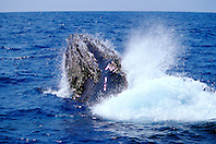 humpback whales, Megaptera novaeangliae, courtship behavior - fighting male, lunging, Big Island, Hawaii, Pacific Ocean