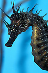 Common seahorse, Hippocampus kuda, captive,  sea horse  .United Kingdom....