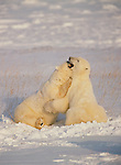 A pair of Polar bears play together in the snow in Canada.