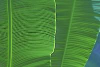 Banana leaves, close up