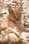 Caracal, Big Cat Rescue