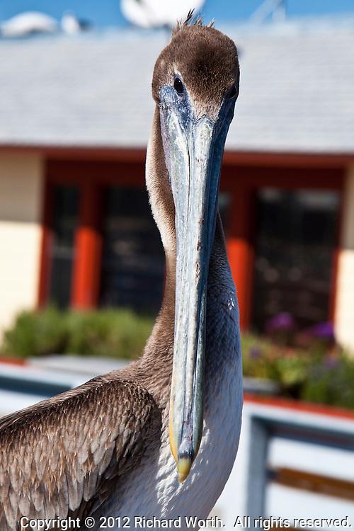 Close-up of a Brown pelican's head and bill at Pillar Point Marina south of San Francisco, California.
