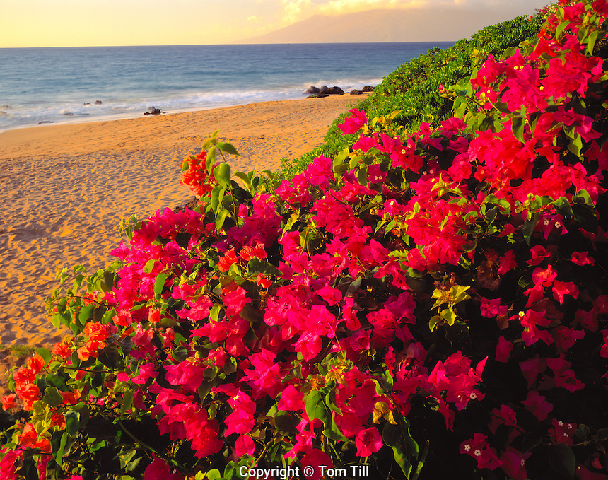 Bougainvillea along the shore, Makena Beach, Hawaii       Island of Maui