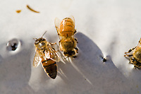 Honeybees (Apis mellifera)
