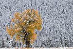 Snow blankets a cottonwood tree as its leaves' colors stand in contrast to conifers after a winter storm moved through the valley late last week.