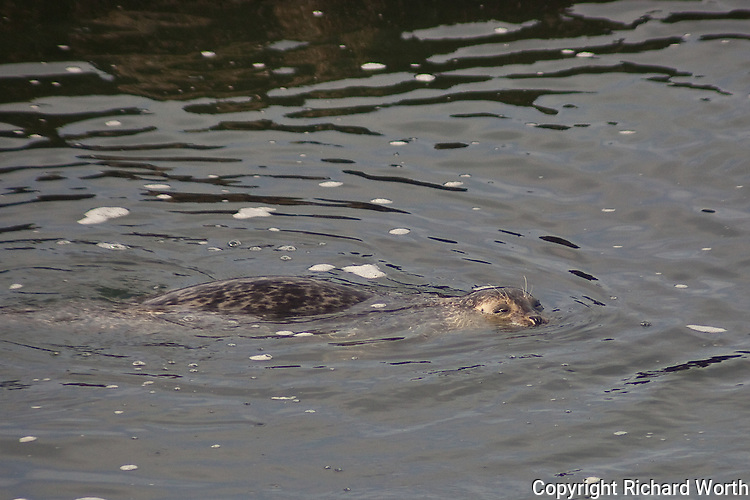 A harbor seal floats  along the surface at Bean Hollow State Beach, California.