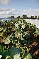 A farm field of broccoli plants.