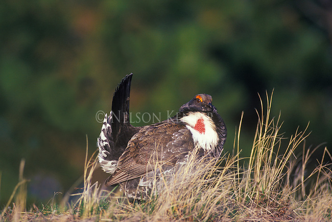 A male Blue Grouse strutting his stuff in a mating display