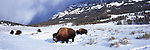A small herd of bison forage for food in the snow of Yellowstone National Park, Wyoming.