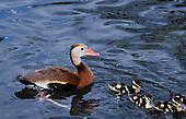 Black-bellied Whistling-Duck (Dendrocygna autumnalis) Houston, Texas, USA