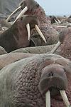 Walrus, Bristol Bay, Alaska
