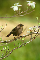 House Wren, Troglodytes musculus, on branch of spring buds and flowers of dogwood tree (Conus florida)