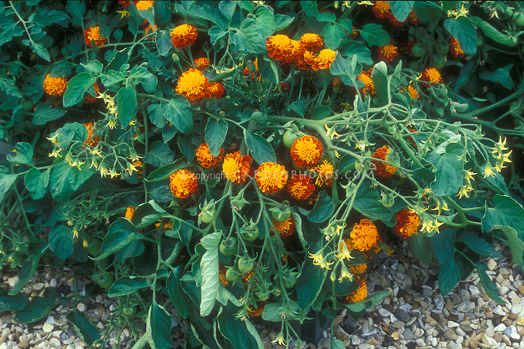 Tomatoes and Marigolds interplanted for companion planting to prevent insect and bugs, showing flowering French marigolds and fruit on tomatoes with buds for organic growing