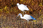Egrets in a Field, Upper Newport Bay, CA