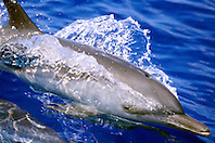 pantropical spotted dolphin, .Stenella attenuata, wake-riding, .Big Island, Hawaii (Pacific).