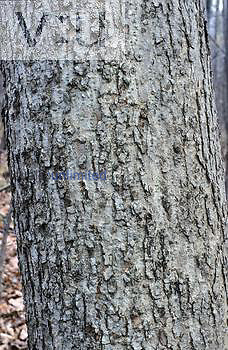 Bark of Black Ash Tree ,Fraxinus nigra,
