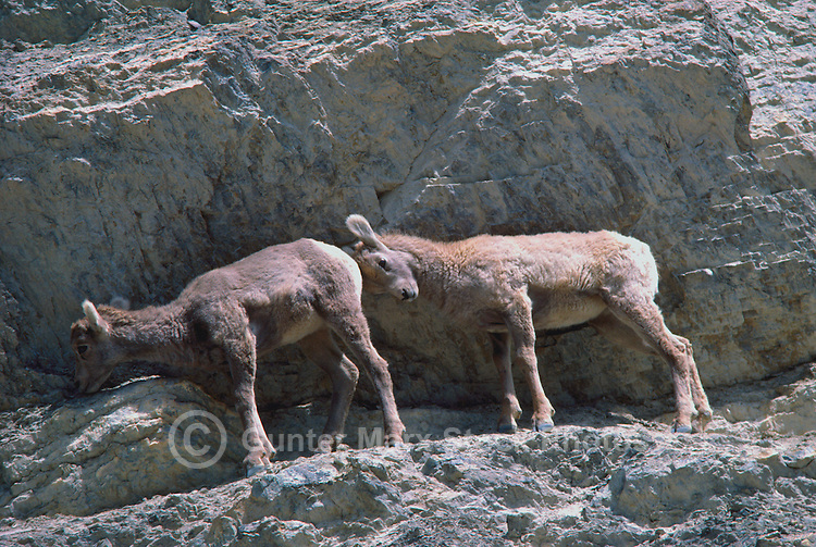 Two Rocky Mountain Bighorn Sheep Lambs (Ovis canadensis) on Rocky Ledge along Icefields Parkway, Canadian Rockies, AB, Alberta, Canada