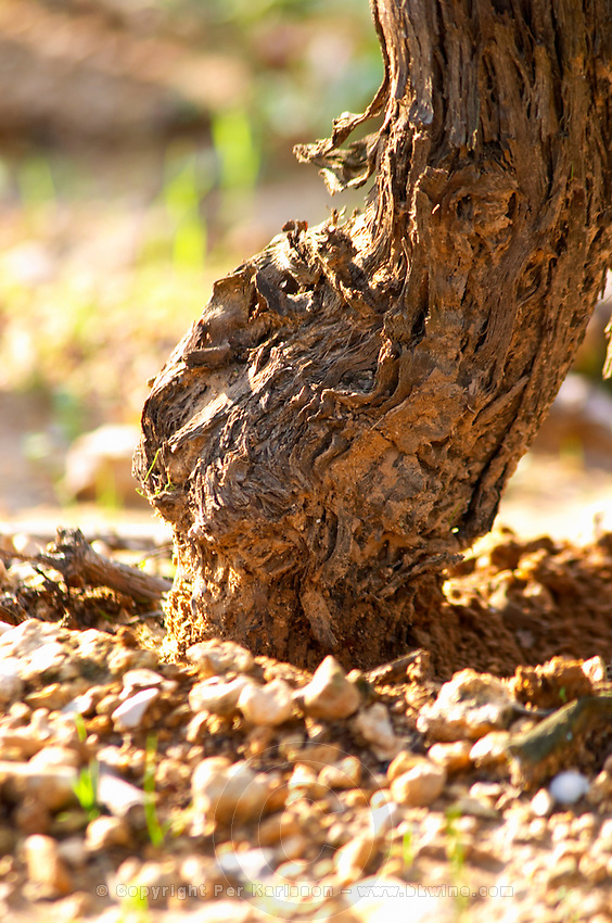 Chateau Mire l'Etang. La Clape. Languedoc. Old, gnarled and twisting vine. Terroir soil. France. Europe. Soil with stones rocks.