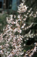 Abeliophyllum distichum in flower, fragrant blooms, Korean species that flowers early spring