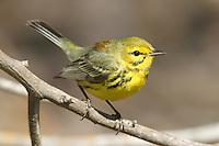 Prairie Warbler (Dendroica discolor) - Male, Fort Desoto Park, near St. Petersburg, Florida