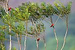 Scarlet tanager, Piranga olivacea, Panama