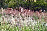 A grassy meadow at sunup with foraging mule deer in the background in the South Valley Park Ken-Caryl Ranch Open Space in Colorado.