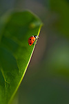 Lady bug getting ready to fly