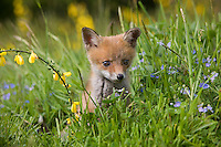 Red Fox pup (Vulpes vulpes) in meadow, Normandy, France.