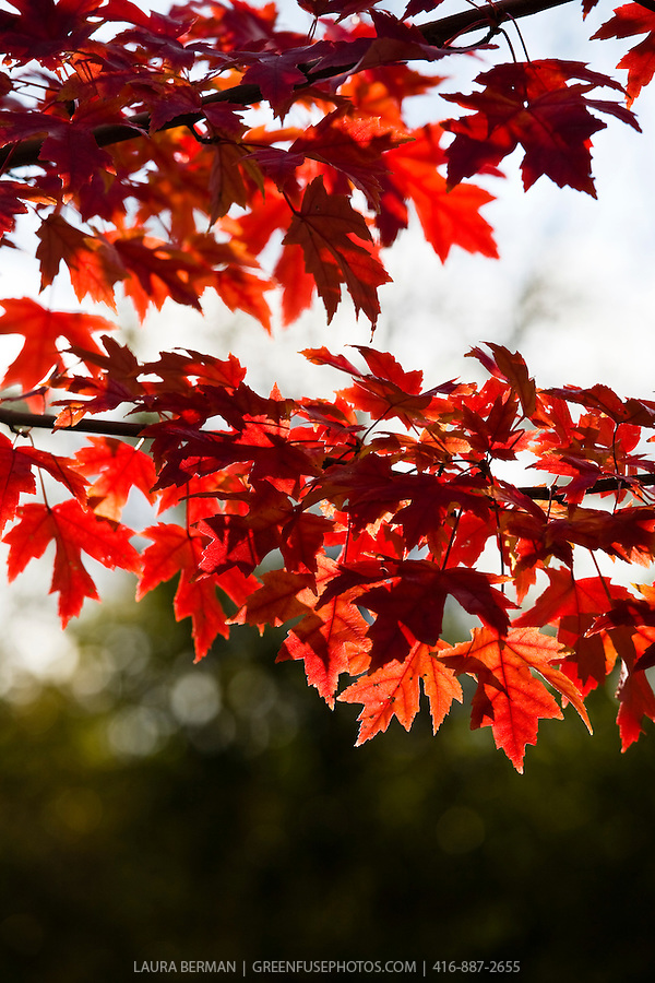 Photo of the bright red autumn foliage of the Silver Maple ( Acer saccharinum)