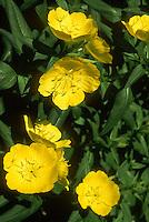 Oenothera fruticosa Evening Primrose sundrops