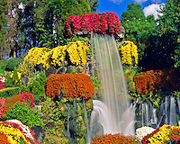 Chrysanthemums & Falls on a November Afternoon, Cypress Gardens, Florida