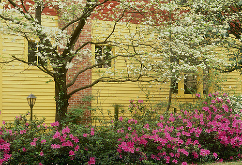 Azaleas and dogwood blooming beside yellow clapcoard house