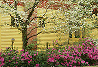 Azaleas and dogwood blooming beside yellow clapcoard house
