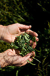 Suzanne Ashworth harvests baby sorrel at Dell Rio Botanical in West Sacramento, CA May 3, 2010.