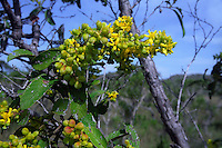 Flowers of Davilla elliptica (family Dilleniaceae), a shrub or small savanna tree in the Cerrado (brazilian savanna) biome: Brazilian Highlands, Goias State, Brazil.