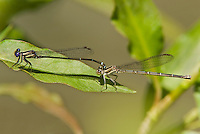 338450004 dusky dancer damselflies argia translata  perched on a leaf in copula or mating along canon grande creek dimmit county texas united states