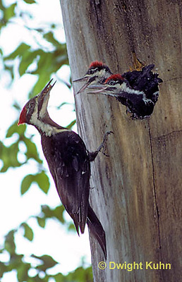 1P03-007z  Pileated Woodpecker - feeding young - Dryocopus pileatus or Hylatomus pileatus