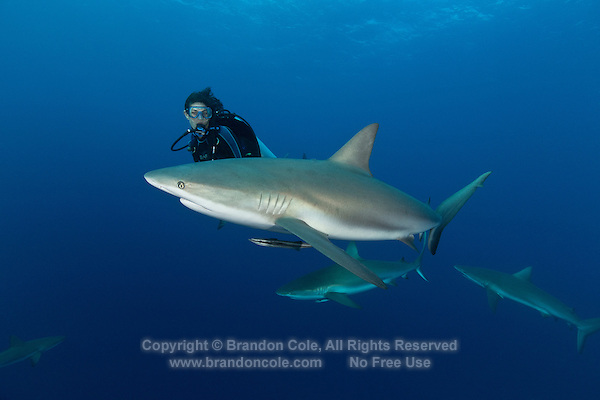 TH1759-D. Caribbean Reef Sharks (Carcharhinus perezi) and scuba diver (model released). This requiem shark species is found from Florida to Brazil, at the surface to over 1000 feet deep. Grows to 10 feet long, diet consists primarily of bony fishes. Solitary or in loose groups. Litter size 4-6 pups. Cuba, Caribbean Sea.<br /> Photo Copyright &copy; Brandon Cole. All rights reserved worldwide.  www.brandoncole.com