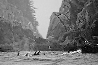 A pod of orcas search for food in the Alaska Maritime National Wildlife Refuge.