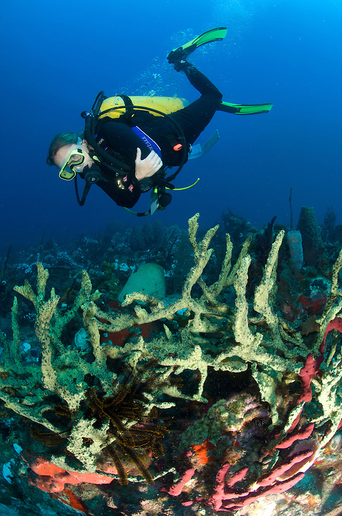 A female diver approaches a colorful north Dominican reef with green finger sponge: Ltrochota birotulata