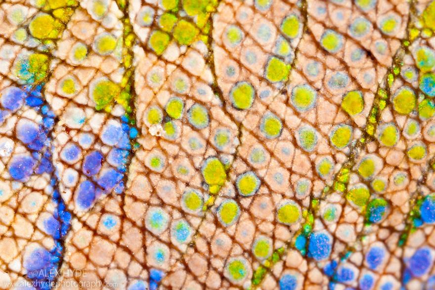 Nose-horned chameleon {Calumma / Chamaeleo nasutus} close-up of skin. Masoala Peninsula National Park, north east Madagascar.