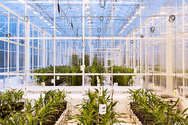 September 9, 2014. Research Triangle Park, North Carolina.<br />  Corn in different grow rooms within the large greenhouse are given different nutrients and amounts of light to monitor the effects of each environment. Omni sensors that monitor temperature, humidity, and light and carbon dioxide levels hang from the ceilings in each room.<br /> The Syngenta Advanced Crop Lab is nearly one acre of advanced agricultural research under glass. The lab is capable of maintaining many different environments under its roof, allowing scientists to test the effects of various environmental elements on different crops and plants side by side.