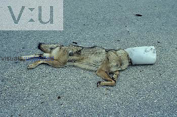 Coyote (Canis latrans) starved to death after its head was caught in a plastic container. Southwestern USA.