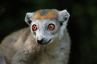 Female Crowned Lemur face (Eulemur coronatus), Ankarana National Park, Northern Madagascar