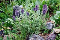 Silky Phacelia also known as Purple Fringe