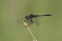 362690015 a wild male black meadowhawk sympetrum danae perches on a plant stem in mono county california