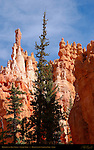 Hoodoos and Blue Spruce, Navajo Trail, Bryce Canyon National Park, Utah