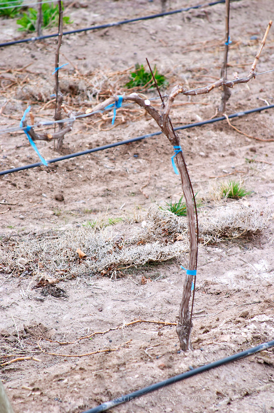 A young vine trained in cordon Royat sandy soil and black rubber tubes for water irrigation. Bodega NQN Winery, Vinedos de la Patagonia, Neuquen, Patagonia, Argentina, South America